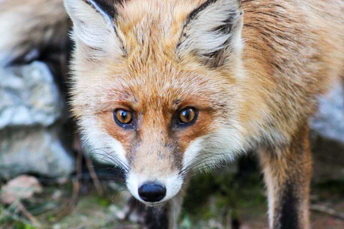 polowanie na lisy